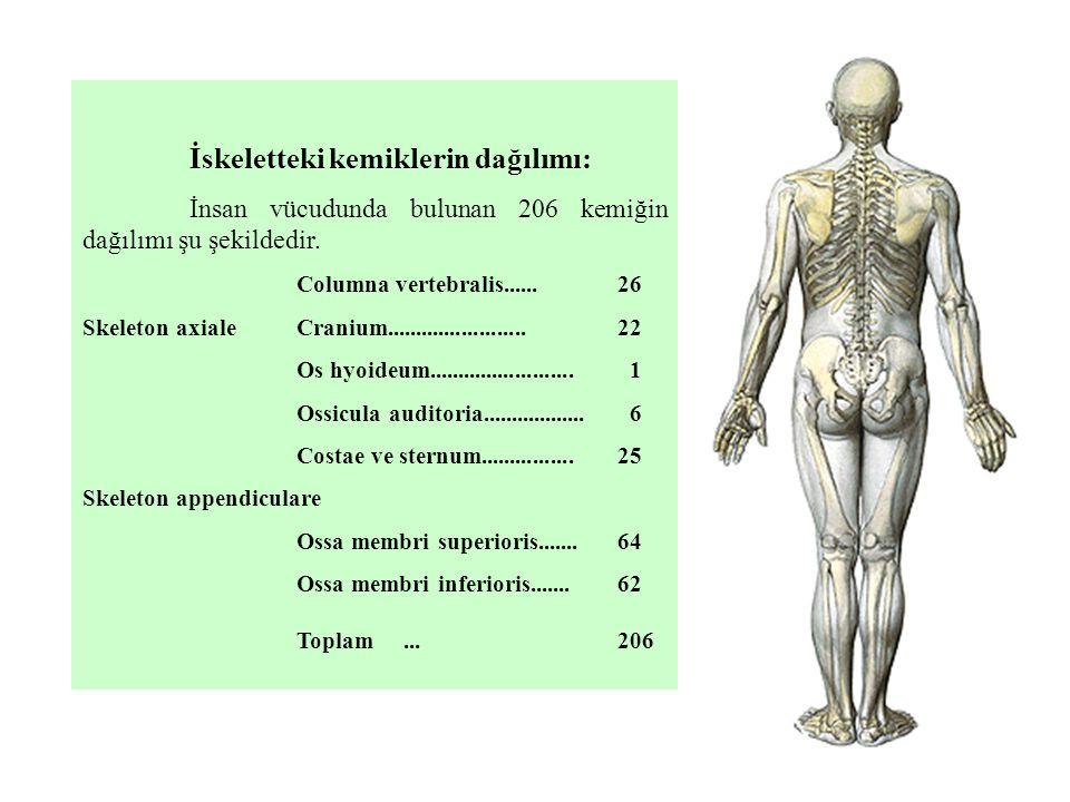 İskeletteki kemiklerin dağılımı: İnsan vücudunda bulunan 206 kemiğin dağılımı şu şekildedir. Columna vertebralis...... 26 Skeleton axialeCranium......