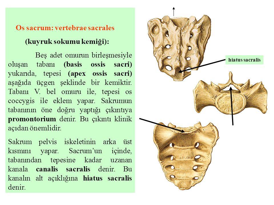 Os sacrum: vertebrae sacrales (kuyruk sokumu kemiği): Beş adet omurun birleşmesiyle oluşan tabanı (basis ossis sacri) yukarıda, tepesi (apex ossis sac