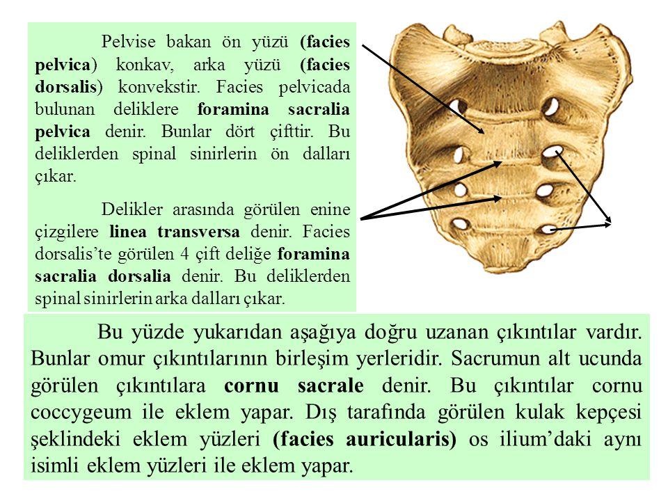 Pelvise bakan ön yüzü (facies pelvica) konkav, arka yüzü (facies dorsalis) konvekstir. Facies pelvicada bulunan deliklere foramina sacralia pelvica de