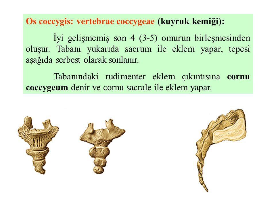 Os coccygis: vertebrae coccygeae (kuyruk kemiği): İyi gelişmemiş son 4 (3-5) omurun birleşmesinden oluşur. Tabanı yukarıda sacrum ile eklem yapar, tep