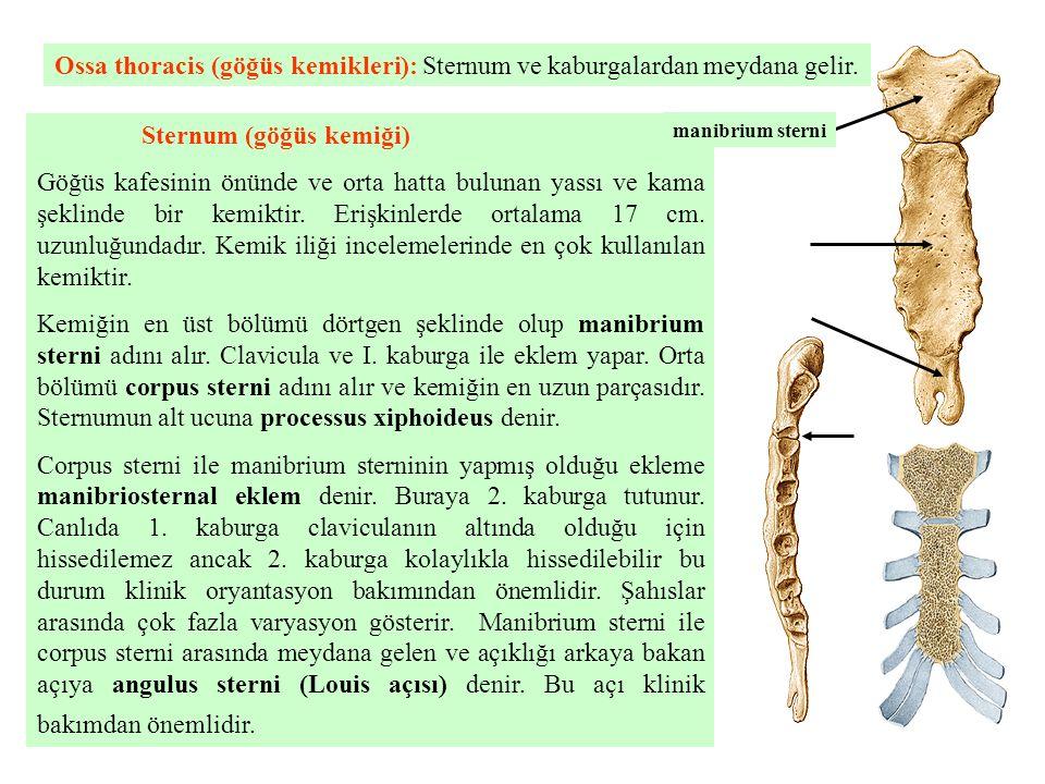 Sternum (göğüs kemiği) Göğüs kafesinin önünde ve orta hatta bulunan yassı ve kama şeklinde bir kemiktir. Erişkinlerde ortalama 17 cm. uzunluğundadır.