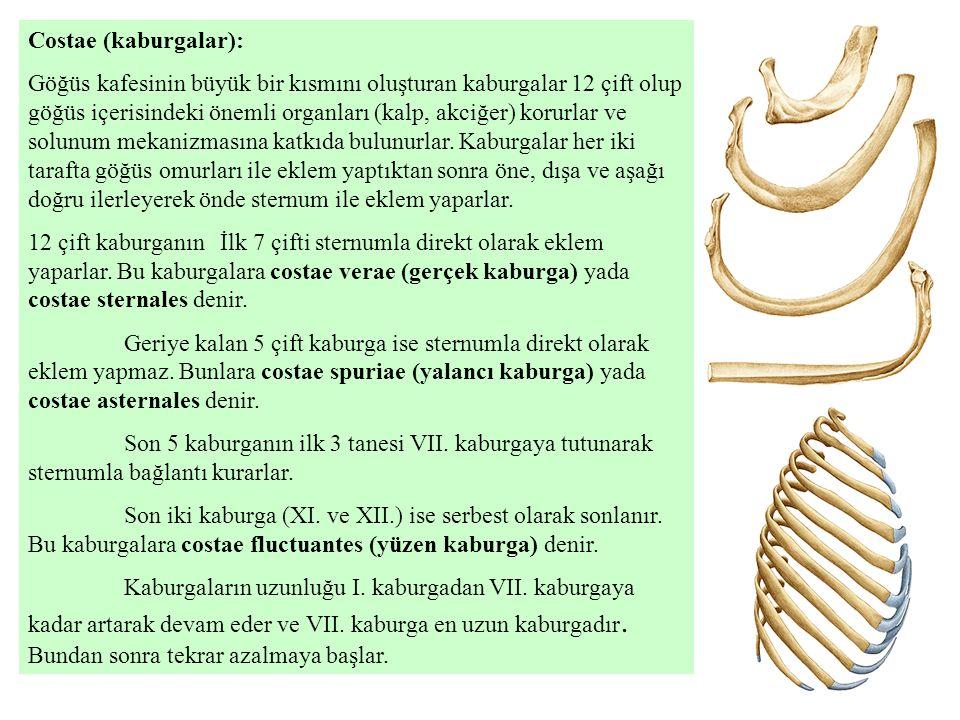 Costae (kaburgalar): Göğüs kafesinin büyük bir kısmını oluşturan kaburgalar 12 çift olup göğüs içerisindeki önemli organları (kalp, akciğer) korurlar