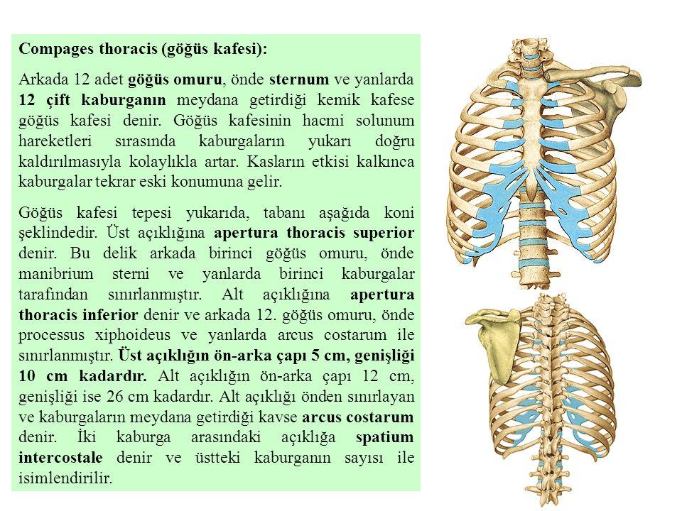 Compages thoracis (göğüs kafesi): Arkada 12 adet göğüs omuru, önde sternum ve yanlarda 12 çift kaburganın meydana getirdiği kemik kafese göğüs kafesi