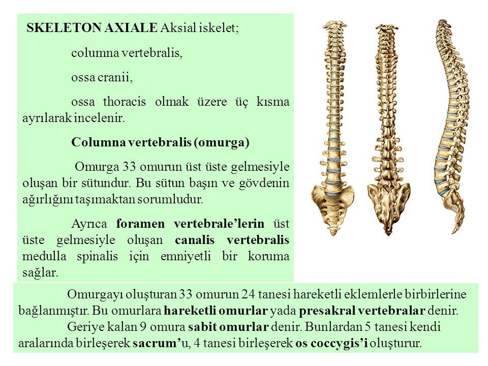 SKELETON AXIALE Aksial iskelet; columna vertebralis, ossa cranii, ossa thoracis olmak üzere üç kısma ayrılarak incelenir. Columna vertebralis (omurga)