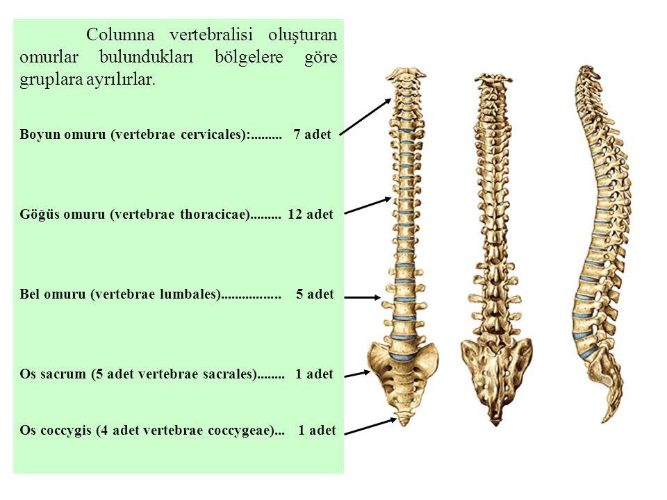 Columna vertebralisi oluşturan omurlar bulundukları bölgelere göre gruplara ayrılırlar. Boyun omuru (vertebrae cervicales):......... 7 adet Göğüs omur