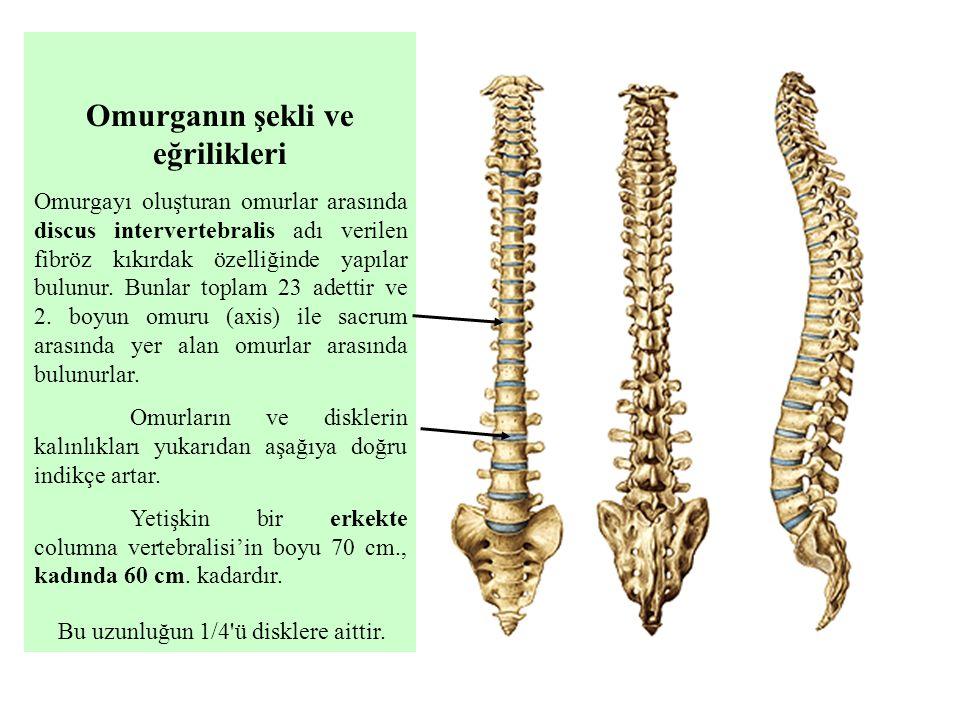 Omurganın şekli ve eğrilikleri Omurgayı oluşturan omurlar arasında discus intervertebralis adı verilen fibröz kıkırdak özelliğinde yapılar bulunur. Bu