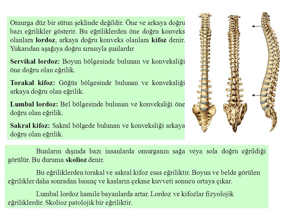 Vertebraların genel özellikleri: Omurganın değişik kısımlarına ait vertebralar arasında şekil ve büyüklük bakımından fark bulunmasına rağmen ortak özellikleri de vardır.