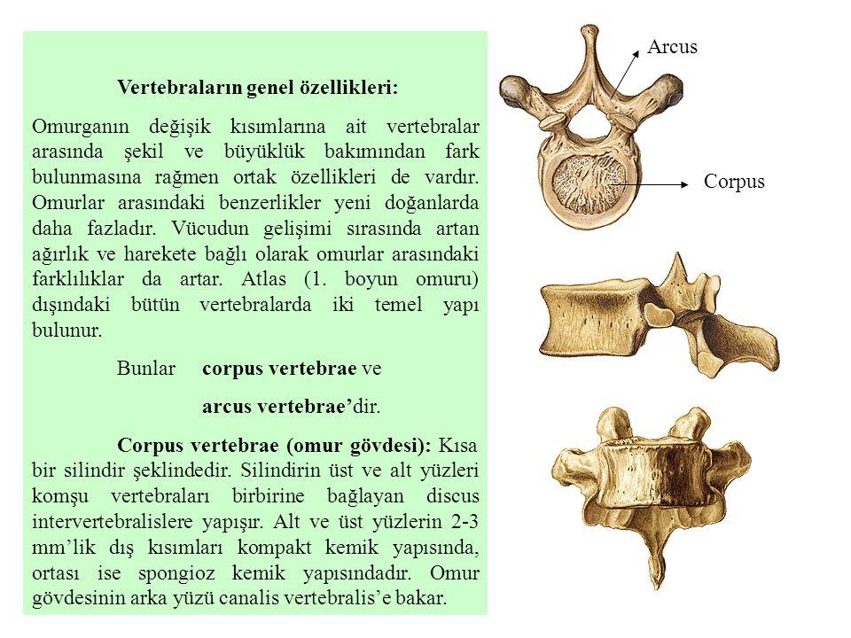 Vertebraların genel özellikleri: Omurganın değişik kısımlarına ait vertebralar arasında şekil ve büyüklük bakımından fark bulunmasına rağmen ortak öze