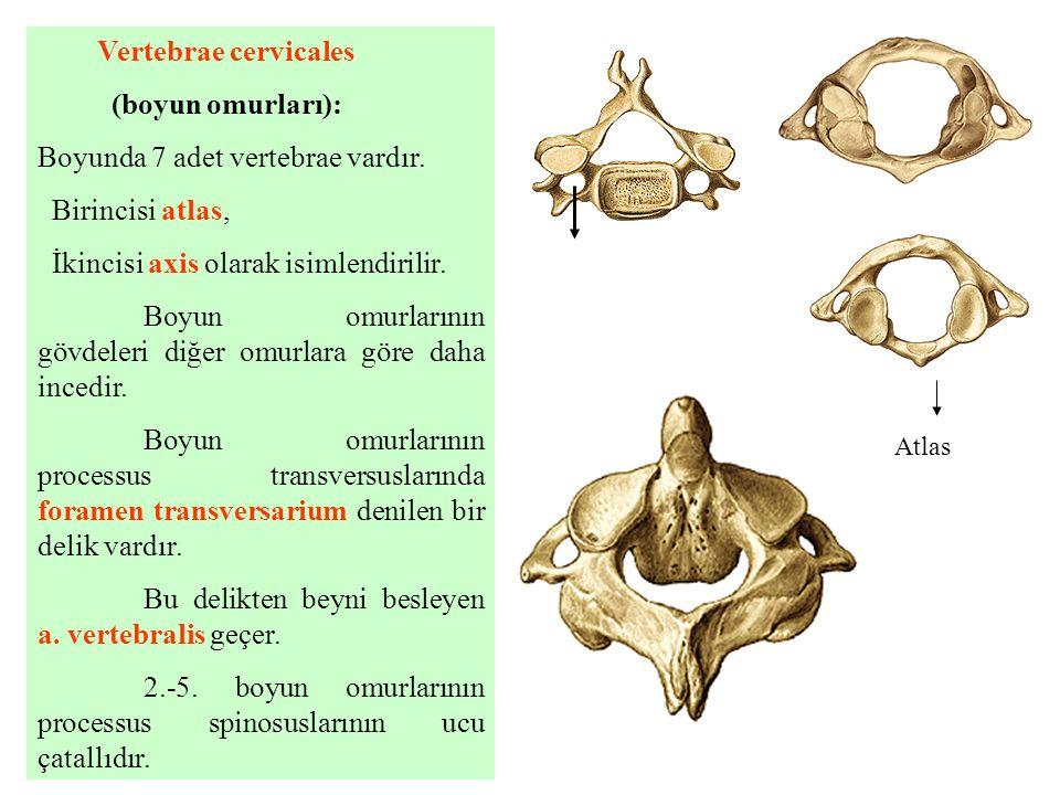 Vertebrae cervicales (boyun omurları): Boyunda 7 adet vertebrae vardır. Birincisi atlas, İkincisi axis olarak isimlendirilir. Boyun omurlarının gövdel