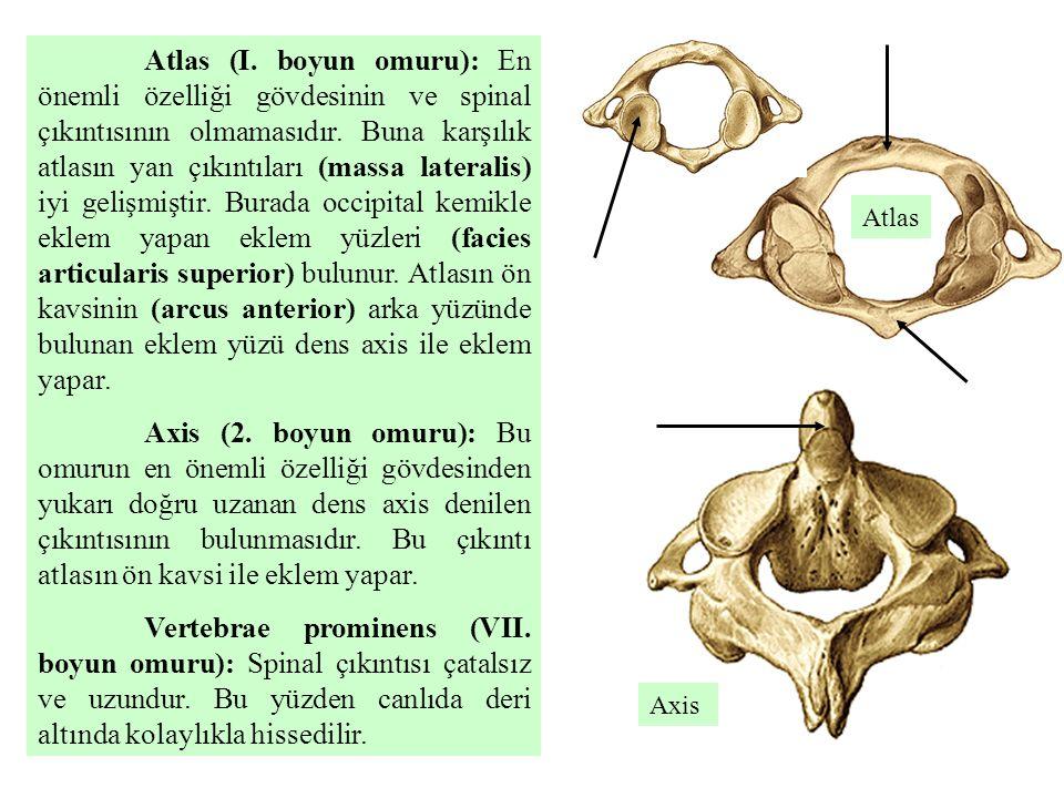 Atlas (I. boyun omuru): En önemli özelliği gövdesinin ve spinal çıkıntısının olmamasıdır. Buna karşılık atlasın yan çıkıntıları (massa lateralis) iyi