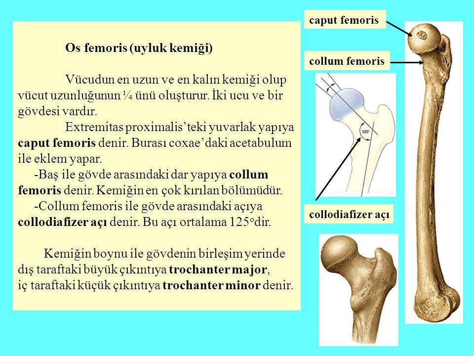 Os femoris (uyluk kemiği) Vücudun en uzun ve en kalın kemiği olup vücut uzunluğunun ¼ ünü oluşturur. İki ucu ve bir gövdesi vardır. Extremitas proxima