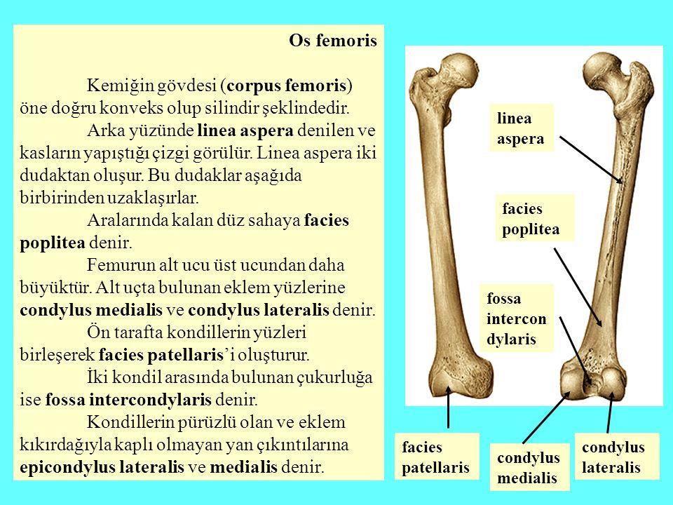 Os femoris Kemiğin gövdesi (corpus femoris) öne doğru konveks olup silindir şeklindedir. Arka yüzünde linea aspera denilen ve kasların yapıştığı çizgi