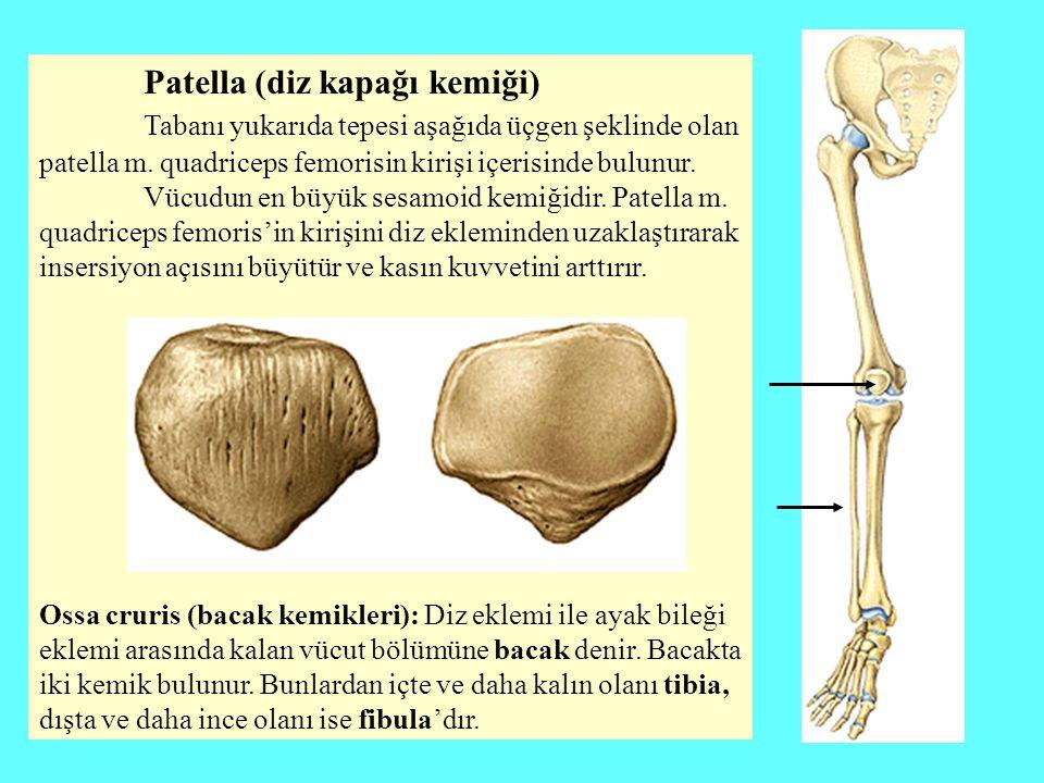 Patella (diz kapağı kemiği) Tabanı yukarıda tepesi aşağıda üçgen şeklinde olan patella m. quadriceps femorisin kirişi içerisinde bulunur. Vücudun en b