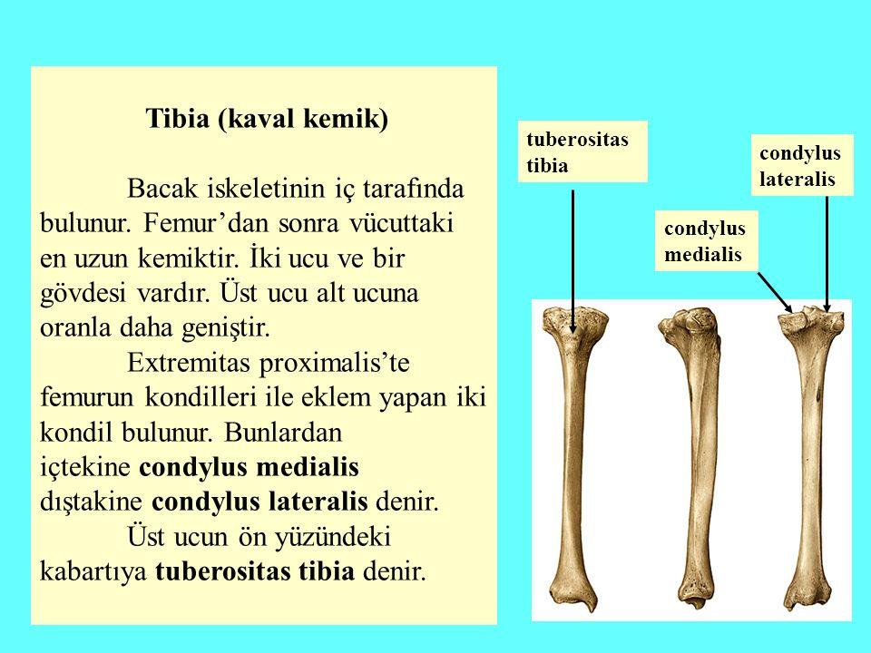 Tibia (kaval kemik) Bacak iskeletinin iç tarafında bulunur. Femur'dan sonra vücuttaki en uzun kemiktir. İki ucu ve bir gövdesi vardır. Üst ucu alt ucu