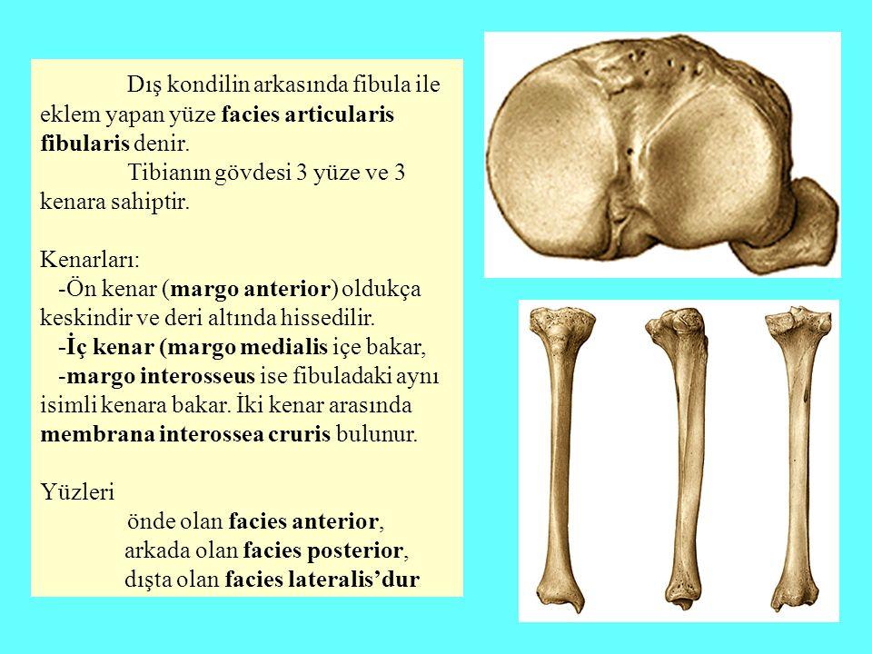 Dış kondilin arkasında fibula ile eklem yapan yüze facies articularis fibularis denir. Tibianın gövdesi 3 yüze ve 3 kenara sahiptir. Kenarları: -Ön ke