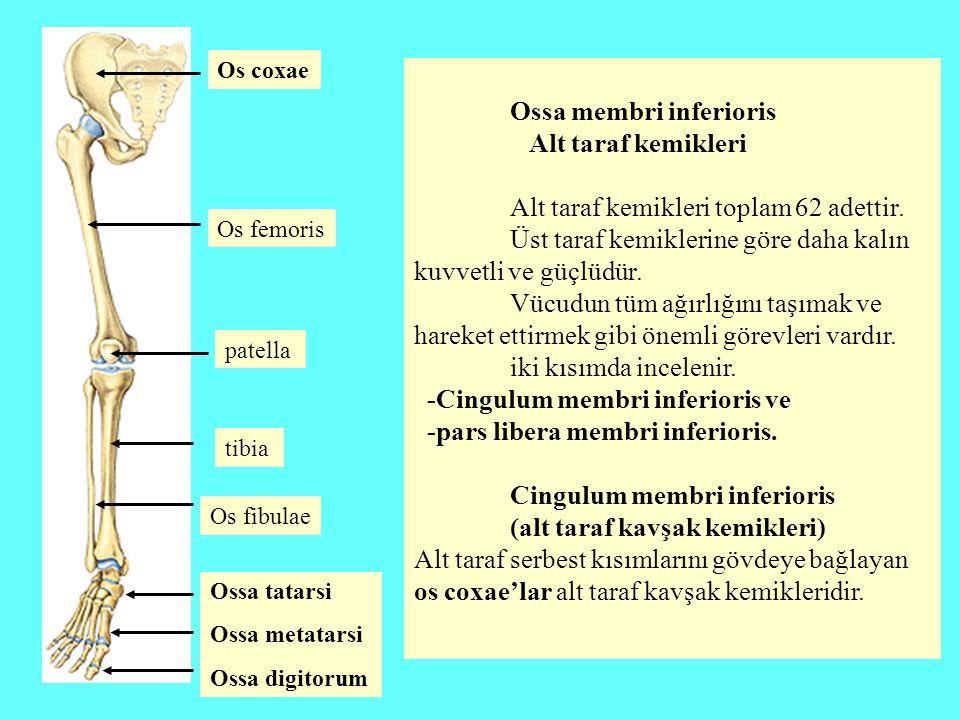 Ossa membri inferioris Alt taraf kemikleri Alt taraf kemikleri toplam 62 adettir. Üst taraf kemiklerine göre daha kalın kuvvetli ve güçlüdür. Vücudun