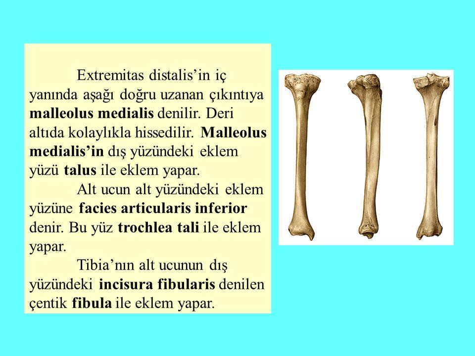 Extremitas distalis'in iç yanında aşağı doğru uzanan çıkıntıya malleolus medialis denilir. Deri altıda kolaylıkla hissedilir. Malleolus medialis'in dı