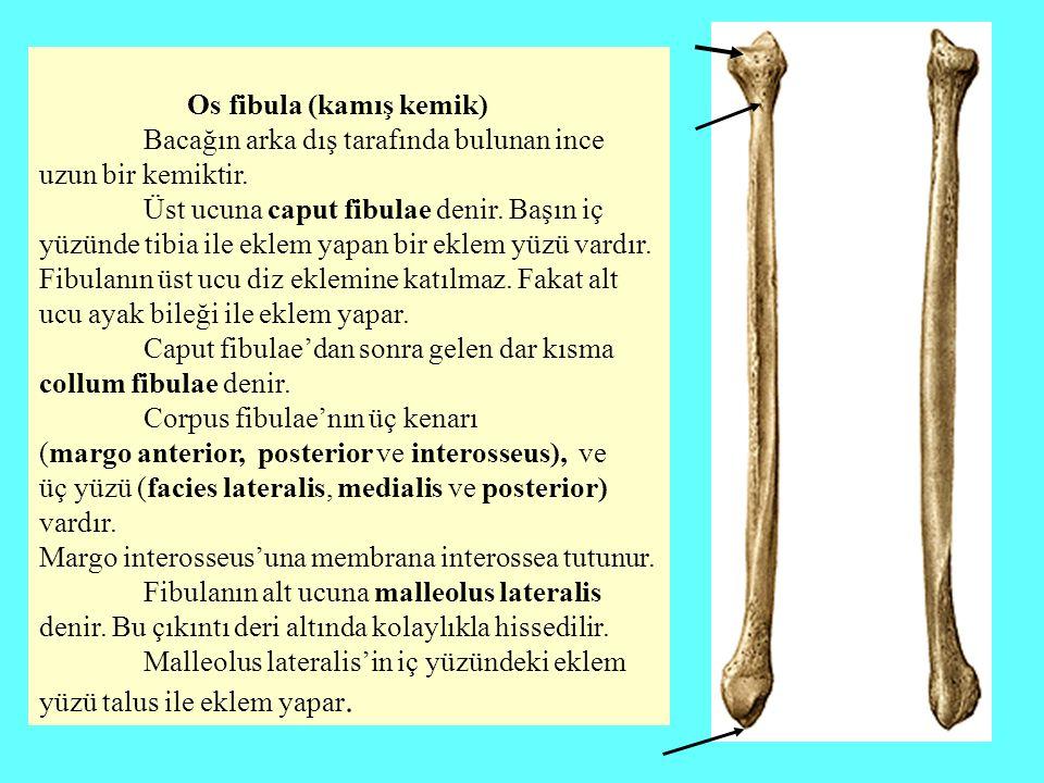 Os fibula (kamış kemik) Bacağın arka dış tarafında bulunan ince uzun bir kemiktir. Üst ucuna caput fibulae denir. Başın iç yüzünde tibia ile eklem yap