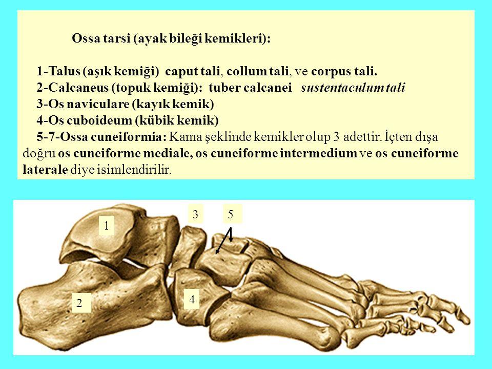 Ossa tarsi (ayak bileği kemikleri): 1-Talus (aşık kemiği) caput tali, collum tali, ve corpus tali. 2-Calcaneus (topuk kemiği): tuber calcanei sustenta