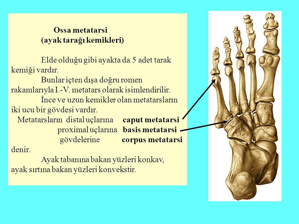 Ossa metatarsi (ayak tarağı kemikleri) Elde olduğu gibi ayakta da 5 adet tarak kemiği vardır. Bunlar içten dışa doğru romen rakamlarıyla I.-V. metatar