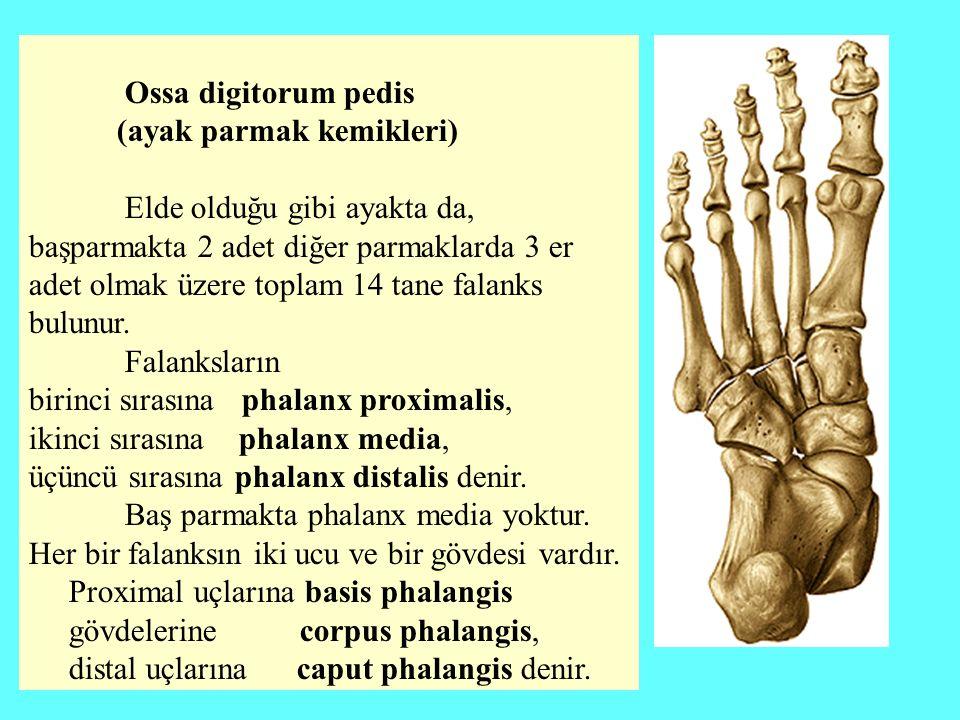 Ossa digitorum pedis (ayak parmak kemikleri) Elde olduğu gibi ayakta da, başparmakta 2 adet diğer parmaklarda 3 er adet olmak üzere toplam 14 tane fal