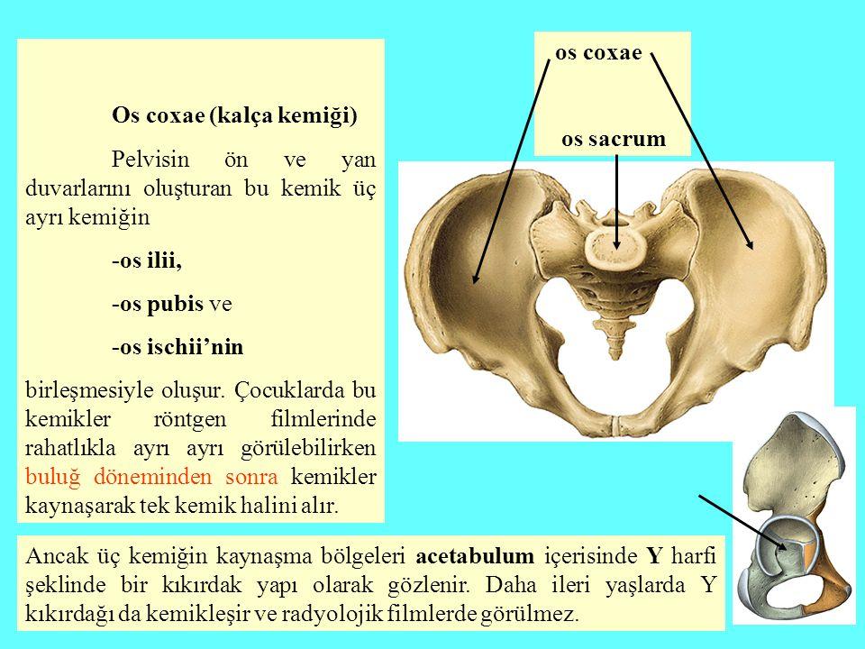 Os coxae (kalça kemiği) Pelvisin ön ve yan duvarlarını oluşturan bu kemik üç ayrı kemiğin -os ilii, -os pubis ve -os ischii'nin birleşmesiyle oluşur.