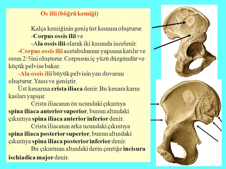 Os ilii (böğrü kemiği) Kalça kemiğinin geniş üst kısmını oluşturur. -Corpus ossis ilii ve -Ala ossis ilii olarak iki kısımda incelenir. -Corpus ossis