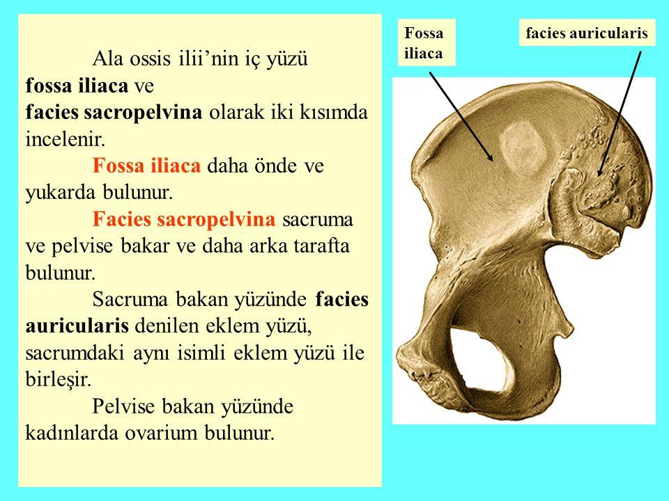 Ala ossis ilii'nin iç yüzü fossa iliaca ve facies sacropelvina olarak iki kısımda incelenir. Fossa iliaca daha önde ve yukarda bulunur. Facies sacrope