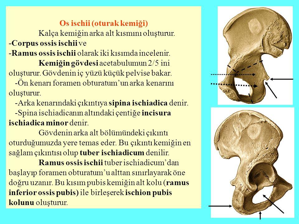 Os ischii (oturak kemiği) Kalça kemiğin arka alt kısmını oluşturur. -Corpus ossis ischii ve -Ramus ossis ischii olarak iki kısımda incelenir. Kemiğin