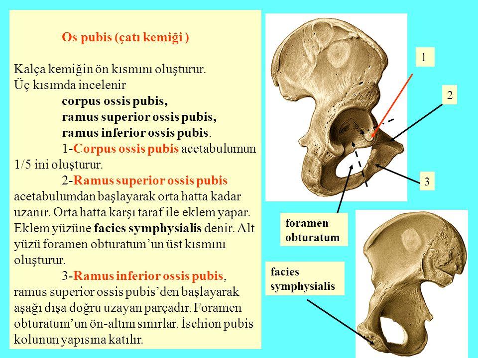 Os pubis (çatı kemiği ) Kalça kemiğin ön kısmını oluşturur. Üç kısımda incelenir corpus ossis pubis, ramus superior ossis pubis, ramus inferior ossis
