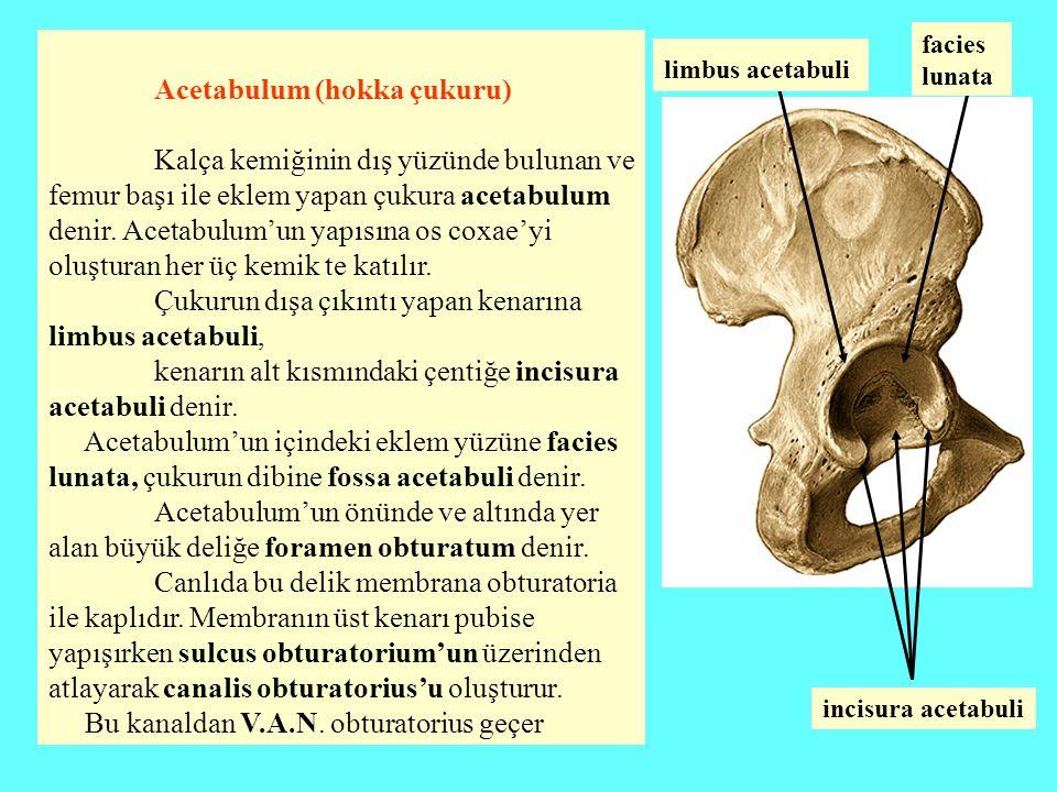 Acetabulum (hokka çukuru) Kalça kemiğinin dış yüzünde bulunan ve femur başı ile eklem yapan çukura acetabulum denir. Acetabulum'un yapısına os coxae'y