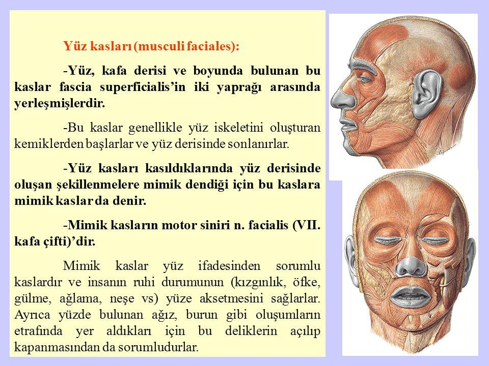 Yüz kasları (musculi faciales): -Yüz, kafa derisi ve boyunda bulunan bu kaslar fascia superficialis'in iki yaprağı arasında yerleşmişlerdir. -Bu kasla