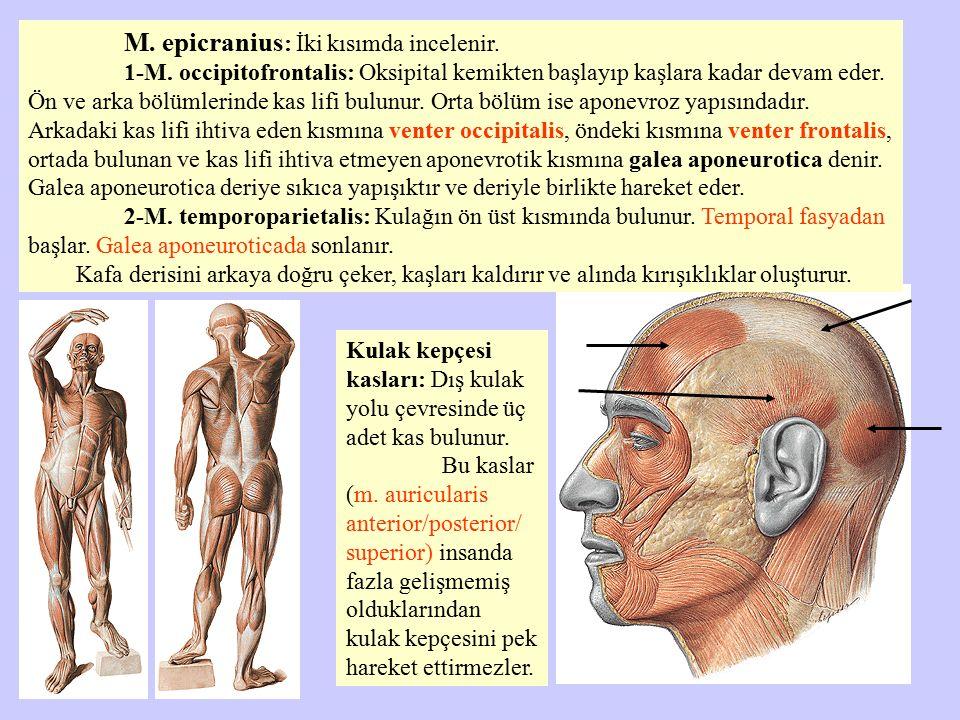 M. epicranius : İki kısımda incelenir. 1-M. occipitofrontalis: Oksipital kemikten başlayıp kaşlara kadar devam eder. Ön ve arka bölümlerinde kas lifi