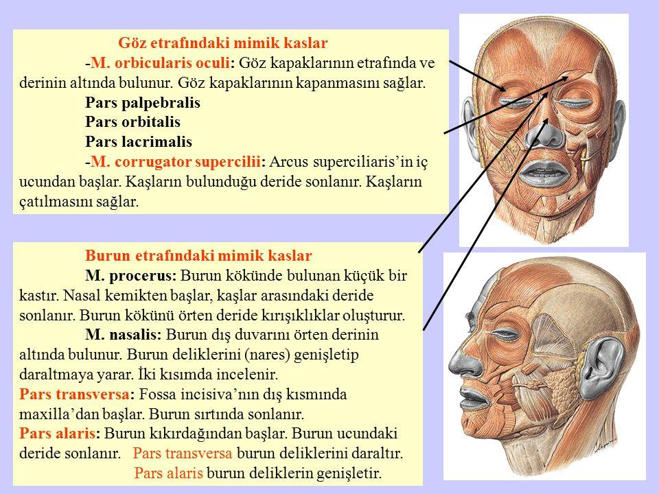 Göz etrafındaki mimik kaslar -M. orbicularis oculi: Göz kapaklarının etrafında ve derinin altında bulunur. Göz kapaklarının kapanmasını sağlar. Pars p