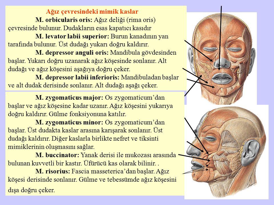 Ağız çevresindeki mimik kaslar M. orbicularis oris: Ağız deliği (rima oris) çevresinde bulunur. Dudakların esas kapatıcı kasıdır M. levator labii supe
