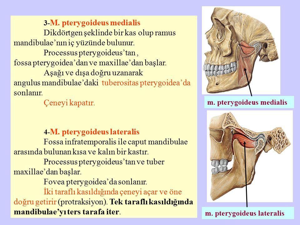 m. pterygoideus lateralis m. pterygoideus medialis 3- M. pterygoideus medialis Dikdörtgen şeklinde bir kas olup ramus mandibulae'nın iç yüzünde bulunu
