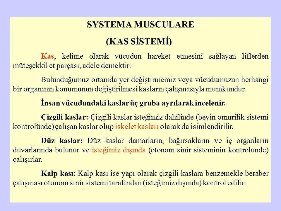 SYSTEMA MUSCULARE (KAS SİSTEMİ) Kas, kelime olarak vücudun hareket etmesini sağlayan liflerden müteşekkil et parçası, adele demektir. Bulunduğumuz ort