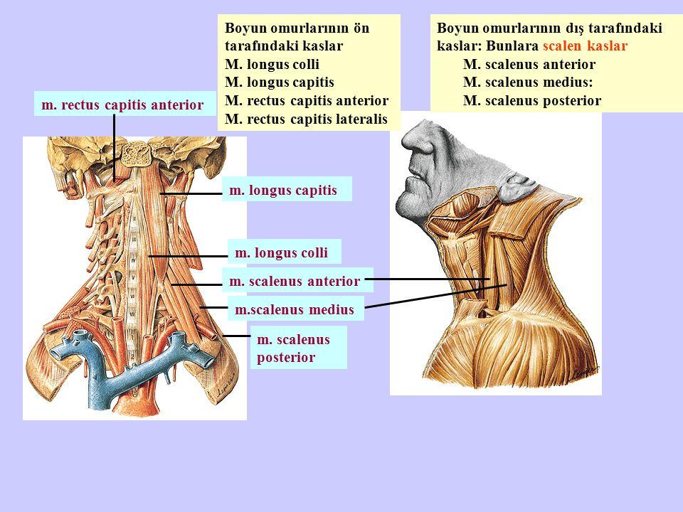 m. longus colli m. rectus capitis anterior m. longus capitis m. scalenus anterior m.scalenus medius m. scalenus posterior Boyun omurlarının dış tarafı