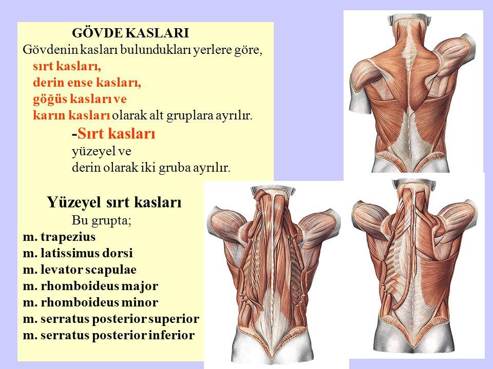 GÖVDE KASLARI Gövdenin kasları bulundukları yerlere göre, sırt kasları, derin ense kasları, göğüs kasları ve karın kasları olarak alt gruplara ayrılır