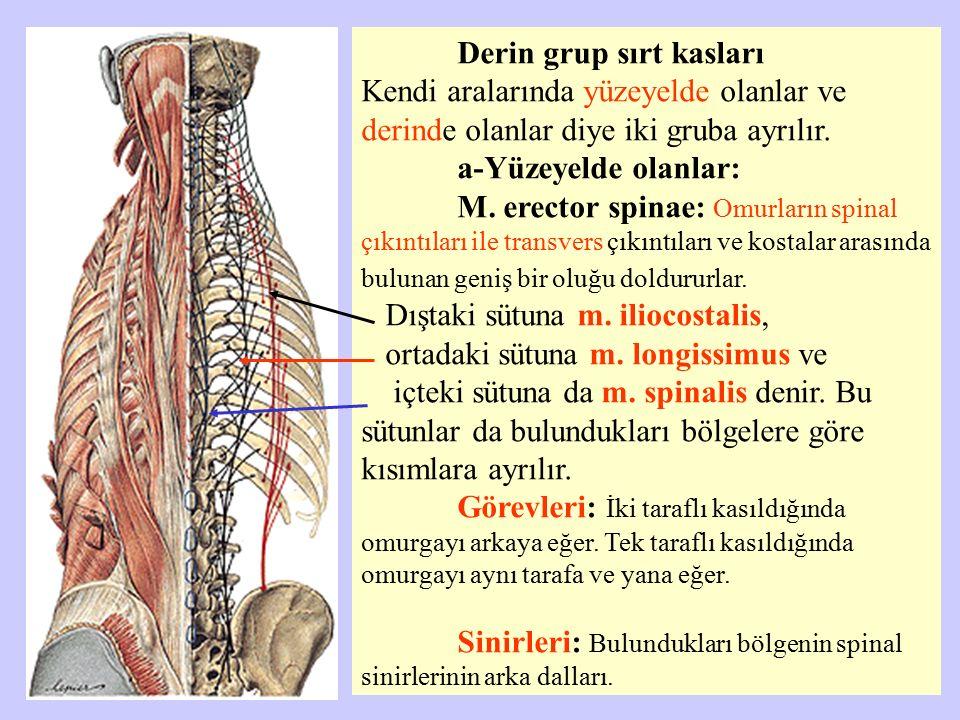Derin grup sırt kasları Kendi aralarında yüzeyelde olanlar ve derinde olanlar diye iki gruba ayrılır. a-Yüzeyelde olanlar: M. erector spinae: Omurları