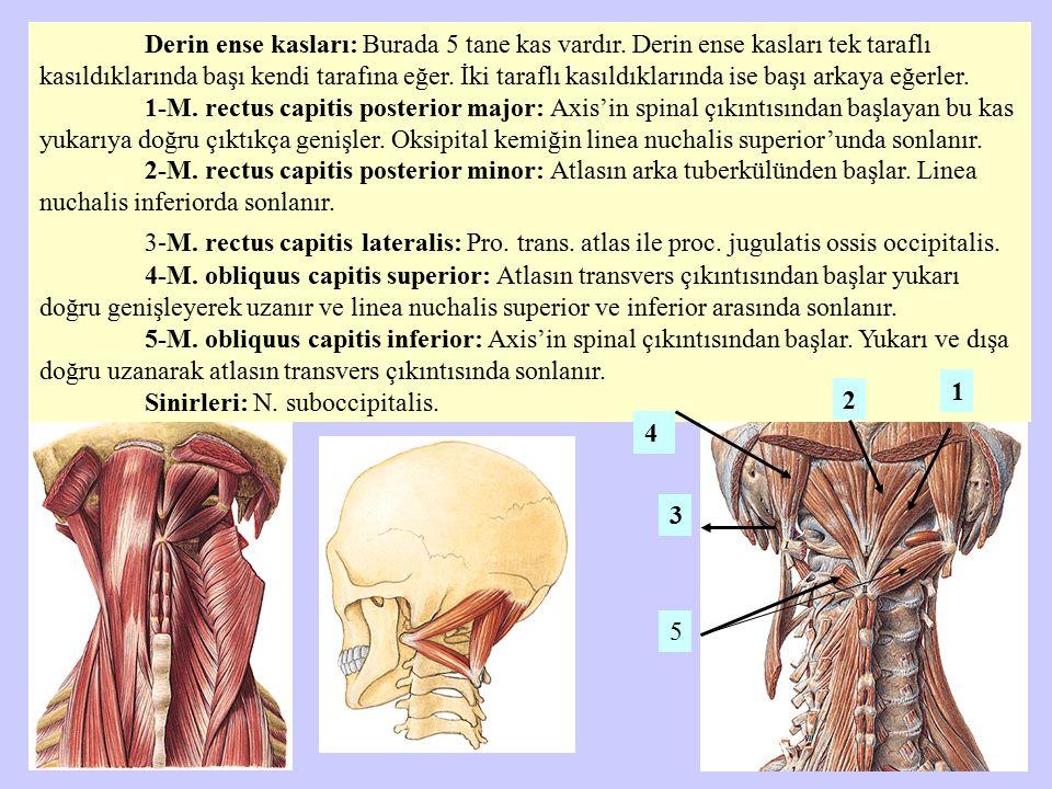 Derin ense kasları: Burada 5 tane kas vardır. Derin ense kasları tek taraflı kasıldıklarında başı kendi tarafına eğer. İki taraflı kasıldıklarında ise