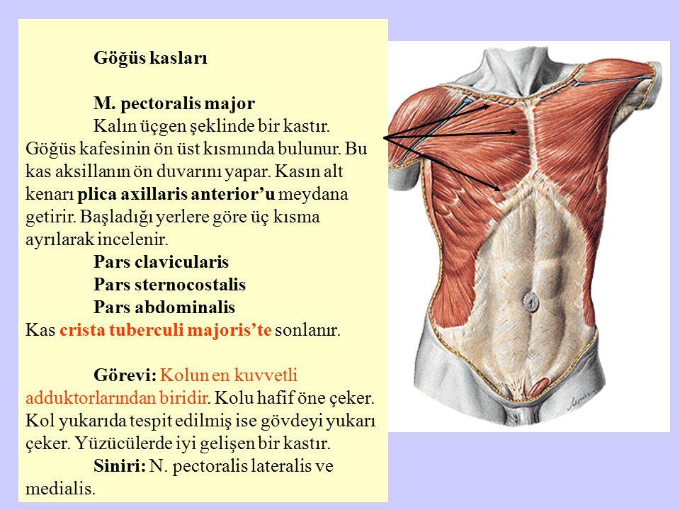 Göğüs kasları M. pectoralis major Kalın üçgen şeklinde bir kastır. Göğüs kafesinin ön üst kısmında bulunur. Bu kas aksillanın ön duvarını yapar. Kasın
