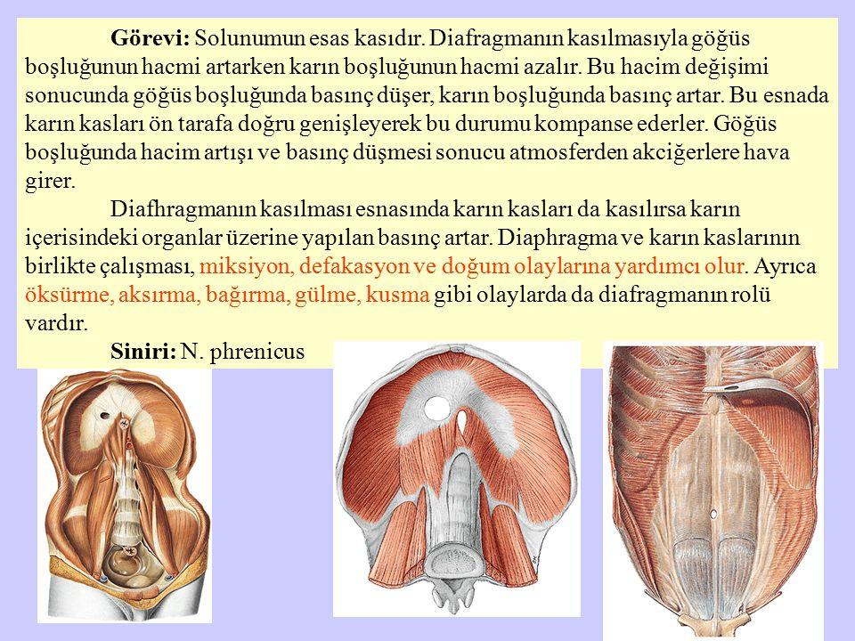 Görevi: Solunumun esas kasıdır. Diafragmanın kasılmasıyla göğüs boşluğunun hacmi artarken karın boşluğunun hacmi azalır. Bu hacim değişimi sonucunda g