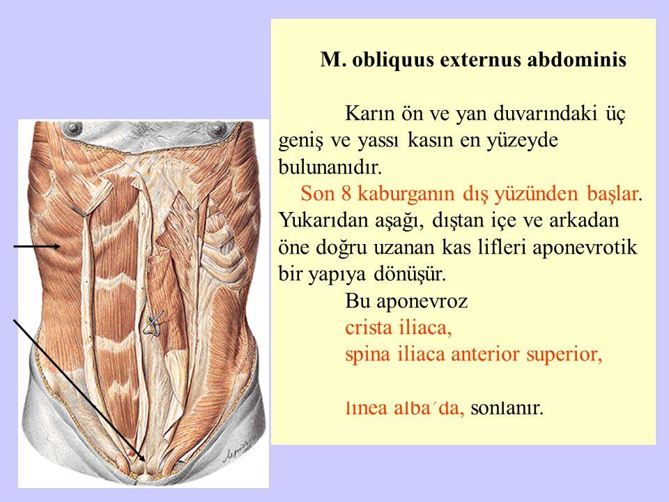 M. obliquus externus abdominis Karın ön ve yan duvarındaki üç geniş ve yassı kasın en yüzeyde bulunanıdır. Son 8 kaburganın dış yüzünden başlar. Yukar