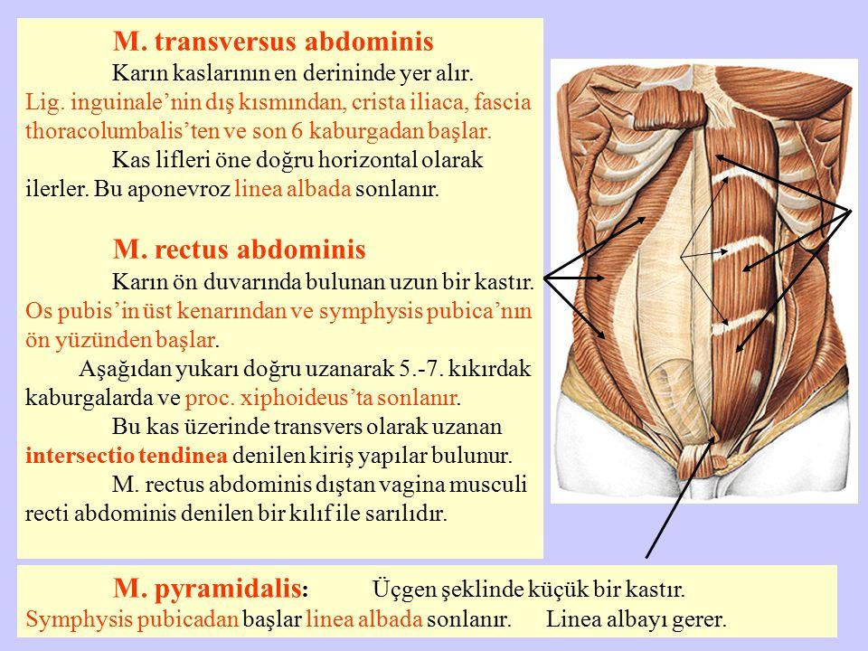 M. transversus abdominis Karın kaslarının en derininde yer alır. Lig. inguinale'nin dış kısmından, crista iliaca, fascia thoracolumbalis'ten ve son 6