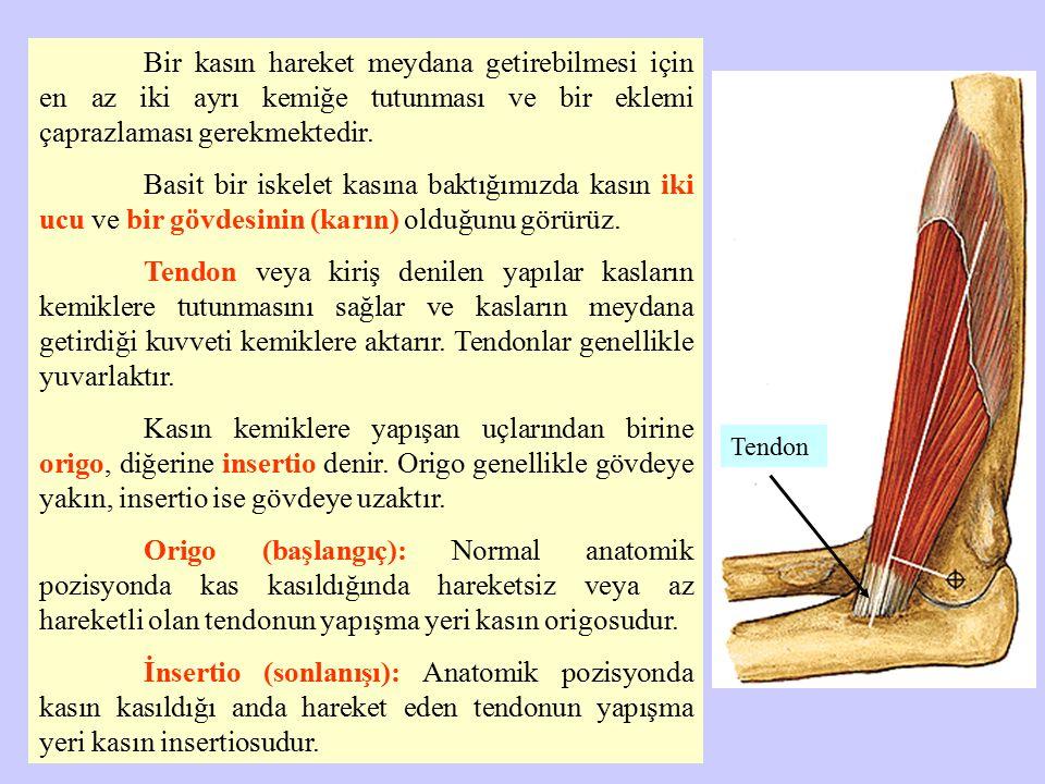 Kasın tendonları arasında bulunan ve kas lifi ihtiva eden şişkin kısmına kasın gövdesi (karın: venter) denir.