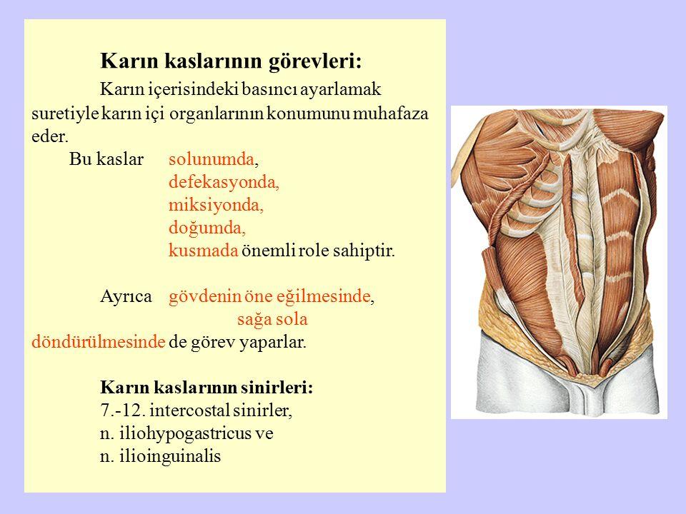 Karın kaslarının görevleri: Karın içerisindeki basıncı ayarlamak suretiyle karın içi organlarının konumunu muhafaza eder. Bu kaslar solunumda, defekas