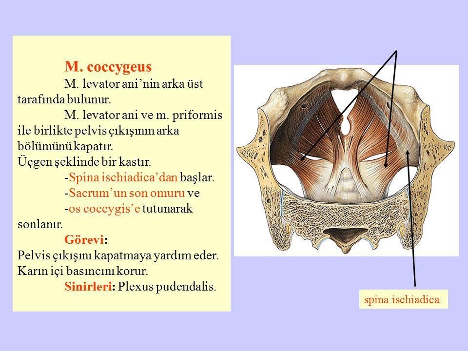 M. coccygeus M. levator ani'nin arka üst tarafında bulunur. M. levator ani ve m. priformis ile birlikte pelvis çıkışının arka bölümünü kapatır. Üçgen