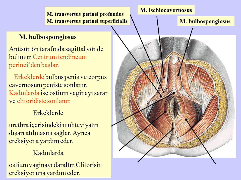 M. bulbospongiosus Anüsün ön tarafında sagittal yönde bulunur. Centrum tendineum perinei'den başlar. Erkeklerde bulbus penis ve corpus cavernosum peni