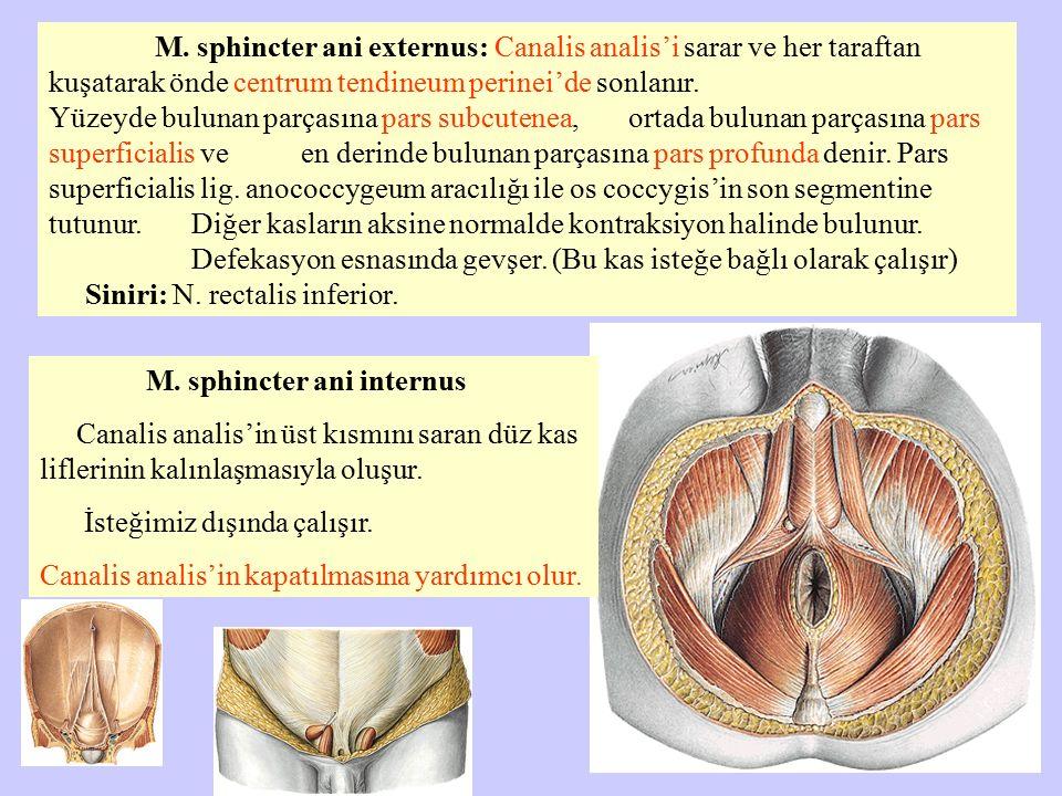 M. sphincter ani externus: Canalis analis'i sarar ve her taraftan kuşatarak önde centrum tendineum perinei'de sonlanır. Yüzeyde bulunan parçasına pars